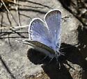 Blues - Plebejus icarioides