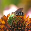Unknown metallic green bee - Agapostemon virescens - female