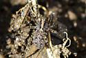 spider031818 - Pardosa