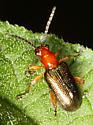 Chrysomelidae - Oulema