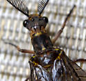 Fish fly? - Chauliodes pectinicornis