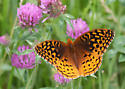 Taken by my daughter, Mary.  Spangled fritillary? - Speyeria cybele - male