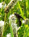 Black Wasp on White Prairie Clover  - Sphex pensylvanicus
