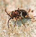 beetle - Ptinus variegatus