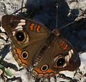Butterfly 4 Dots - Junonia coenia