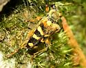 Striped Beetle - Xestoleptura crassipes