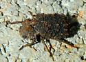 Beetle - Bolitotherus cornutus - female