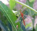Crane fly - Nephrotoma ferruginea - female