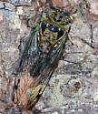 cicada - Neotibicen davisi