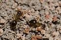 False Honey Ants - Prenolepis imparis