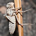 Dragonfly or Damsefly Molt? - Cordulia shurtleffii