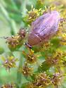 Cockroach - Ectobius pallidus - male