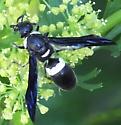 wasp? - Monobia quadridens