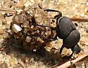 tumblebug - Canthon