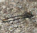 Dragonfly - unidentified - Gomphus exilis