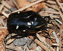 Unknown Black and White Beetle - Gymnetina borealis