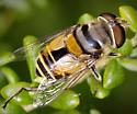 Copestylum? Flower Fly - Palpada alhambra
