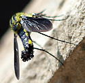 Need an id please view 3 - Lepidophora lepidocera