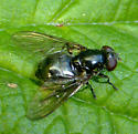 Syrphid Fly - Cheilosia