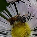 Unidentified bee - Andrena nasonii