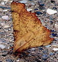 Maple Spanworm on a stone building. - Ennomos magnaria