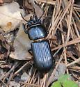 Mystery beetle - Odontotaenius disjunctus