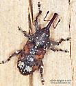 Curculionidae - Pissodes