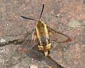 clear wing moth - Hemaris