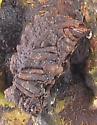 Bolitotherus cornutus - female