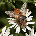 Tachinid with brown abdomen - Gonia