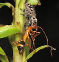 Ant mimicry didn't help... - Phidippus regius