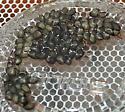 Carpenterworm ova - Prionoxystus robiniae
