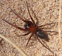 Ground spider? - Titanoeca