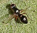 Shiny, wasp-like fly - Sepsis