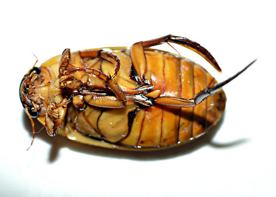 Dytiscid species? - Dytiscus cordieri