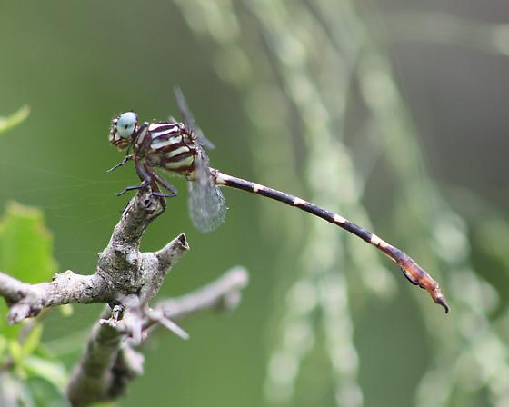 Ringed Forceptail - Phyllocycla breviphylla