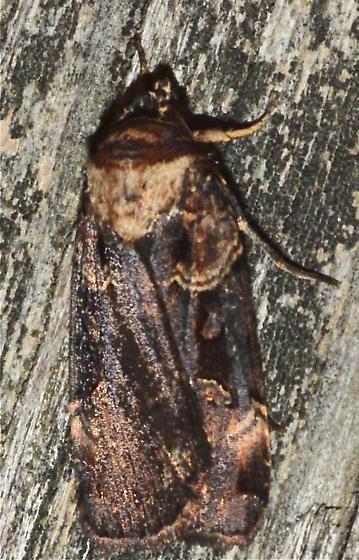 Black Moth 2 - Pseudohermonassa bicarnea