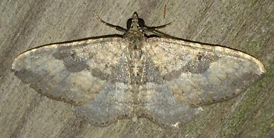 Orthonama obstipata - male