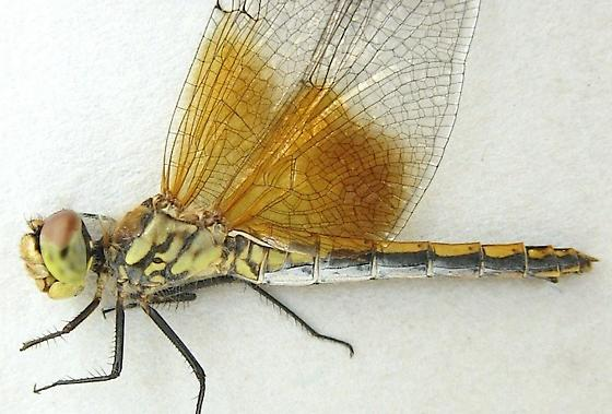 Female Band-winged Meadowhawk Dragonfly - Sympetrum semicinctum - female