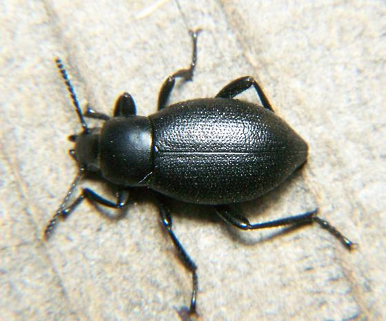Darkling beetle? - Eleodes extricata