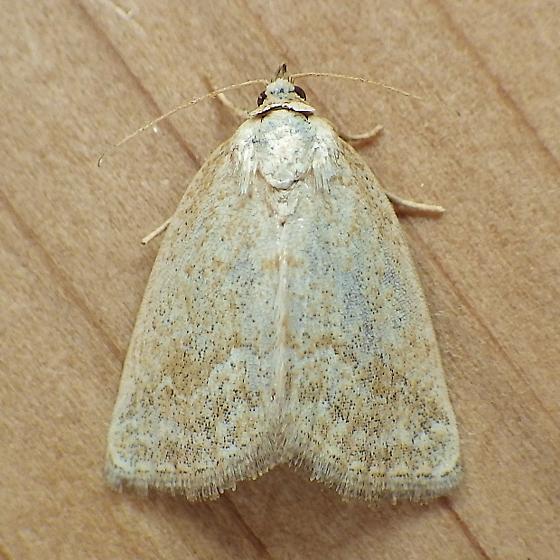Noctuidae: Protodeltote albidula - Protodeltote albidula