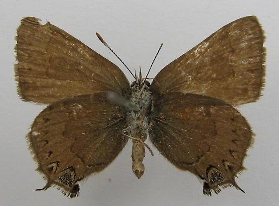 Satyrium saepium - female