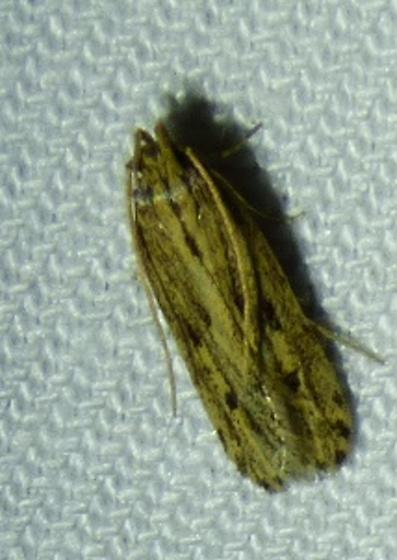 unknown moth - Spinitibia hodgesi