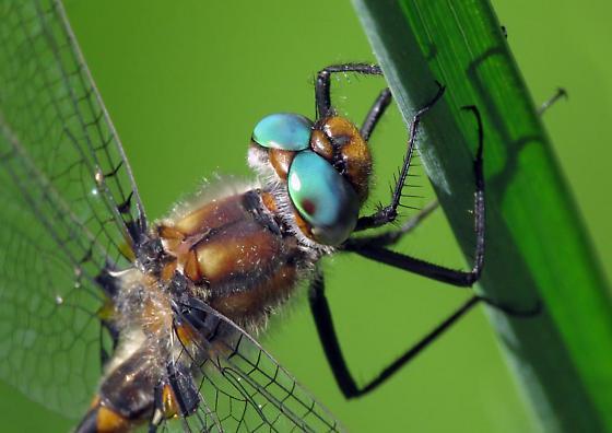 Dragonfly ID please - Helocordulia uhleri