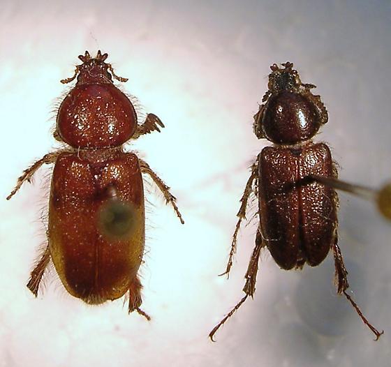 Diphyllostoma fimbriata - Diphyllostoma fimbriatum - male - female