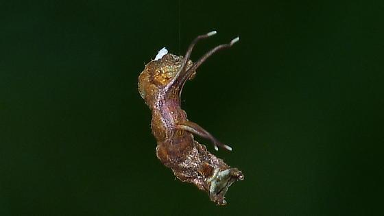 Air Horse - Nematocampa resistaria