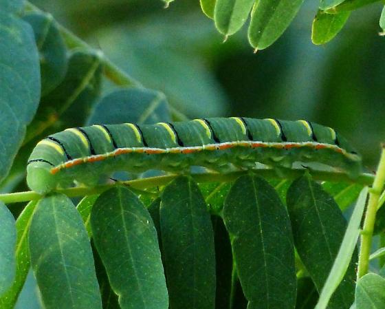 Southern Dogface caterpillar - Zerene cesonia