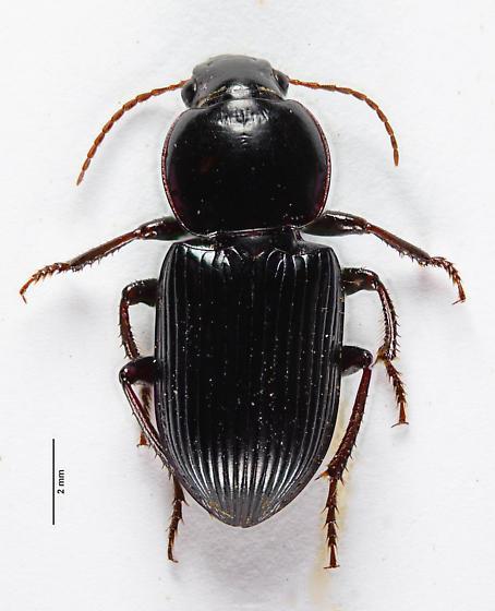 Harpalinae? - Discoderus - male