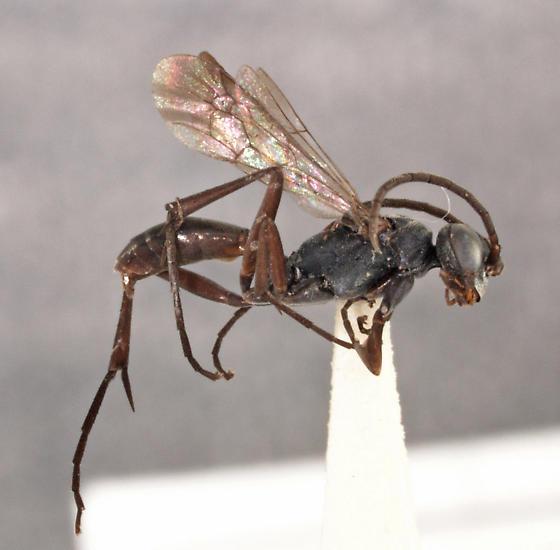 Ageniella euphorbiae (Vier.) - Ageniella euphorbiae - male
