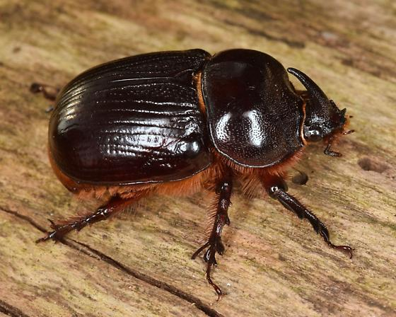 Rhinoceros Beetle - Xyloryctes jamaicensis - male